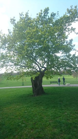 Lightening struck Oak tree at Brockwell Park